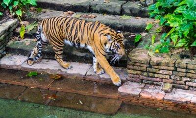 Fototapeta Tiger w pobliżu wodopoju