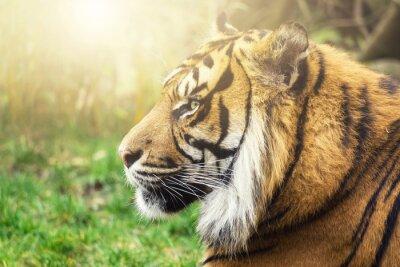 Fototapeta Tiger w profilu ze stronami słońcem na twarzy