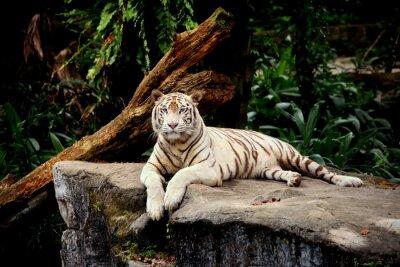 Fototapeta tigre Allonge