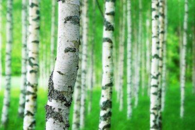 Fototapeta trunk of birch tree