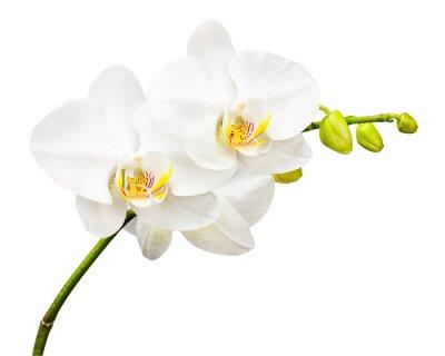 Fototapeta Trzy dni starego Orchidea samodzielnie na białym tle.
