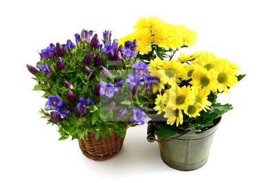 Fototapeta Trzy Doniczki Z Niebieskim Goryczki I żółtych Chryzantem