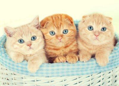 Fototapeta Trzy małe kocięta w koszyku