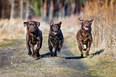Fototapeta Trzy szczęśliwe psy razem z systemem