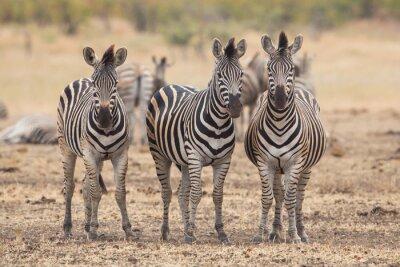 Fototapeta Trzy zebry, Kruger Park, Republika Południowej Afryki