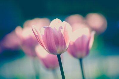 Fototapeta tulips in garden