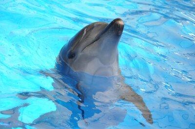 Fototapeta Tursiops na niebiesko wody