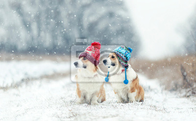 Fototapeta two cute red Corgi dogs sitting next to each other in the Park for a walk on a winter day in funny warm knitted hats during heavy snowfall