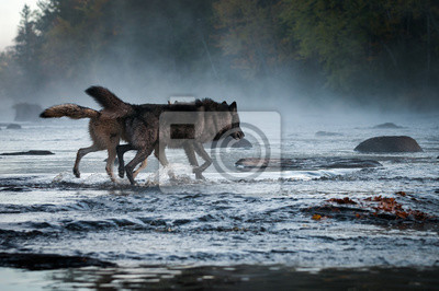 Fototapeta Two Grey Wolves (Canis lupus) Run Into Foggy River Autumn