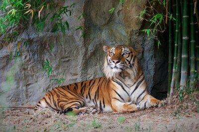 Fototapeta Tygrys bengalski w lesie
