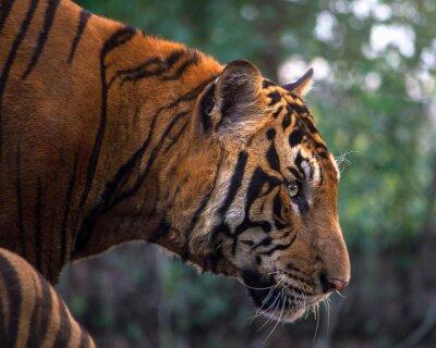 Fototapeta Tygrys, portret Tygrys bengalski