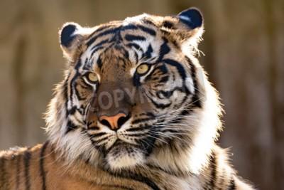 Fototapeta Tygrys sumatrzański (Panthera tigris sumatrae) jest rzadkim podgatunków tygrysa, który zamieszkuje indonezyjskiej wyspie Sumatra