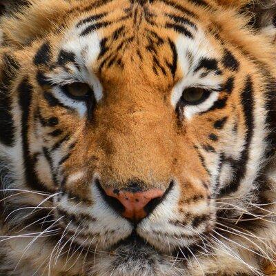 Fototapeta Tygrys zbliżenie twarzy