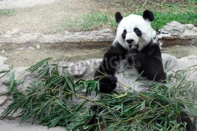 Fototapeta Urocza panda jedzenia bambusa