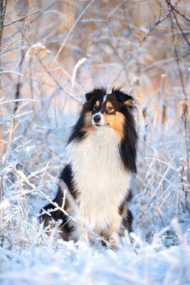 Fototapeta urocza Sheltie pies portret zima
