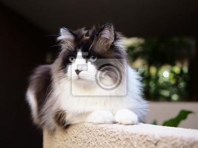 Urocza śliczny Brązowy Bi Kolor Długowłosy Kot Ragdoll Z Niebieskimi