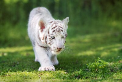 Fototapeta urocza White Tiger cub chodzenie na trawie