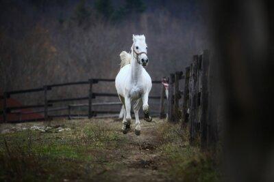 Fototapeta Uruchamianie białego konia