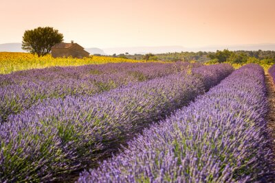 Fototapeta Valensole, Provence, Francja. Lawendowe pole pełne fioletowe kwiaty