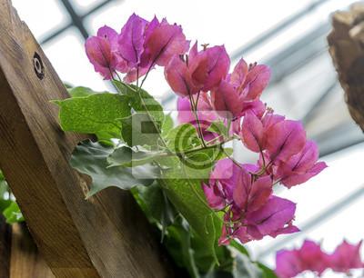 Fototapeta Vibrant Różowe Kwiaty Rosnące Na Drewnianej Altany Wewnątrz Szklarni