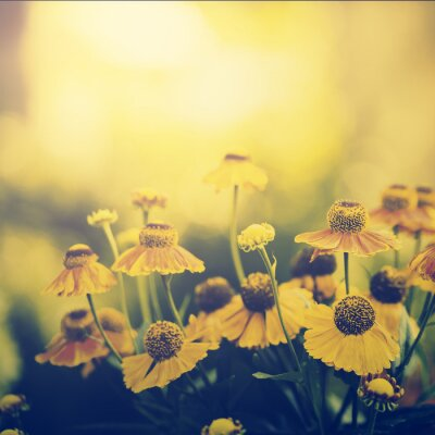 Fototapeta Vintage photo pola żółte kwiaty w zachodzie słońca