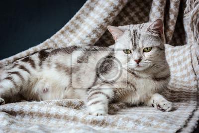 W Ciąży Szary Kot Leży Na Tkaninie Fototapeta Fototapety W Ciąży