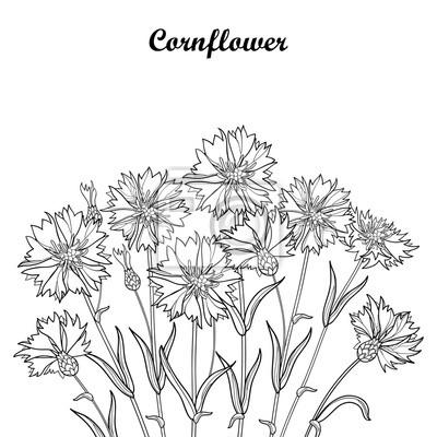 d2755a841e3ba5 Fototapeta Wektorowy bukiet z konturem Chabrowy, kwiat, liść i pączek w  czerni na białym