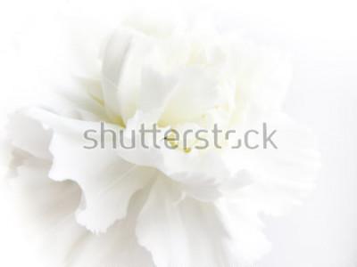 Fototapeta White flowers background. Macro of white petals texture. Soft dreamy image