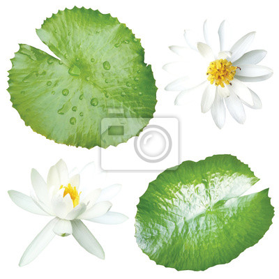 Fototapeta white lotus and leaves isolated on white background
