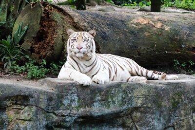 Fototapeta White Tiger 5