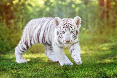 Fototapeta White Tiger cub spaceru na świeżym powietrzu