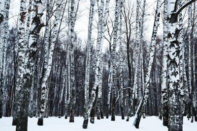 Fototapeta widok śniegu w okresie zimowym lesie brzozy
