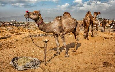 Fototapeta Wielbłądy w Pushkar Camel Fair Mela, Indie