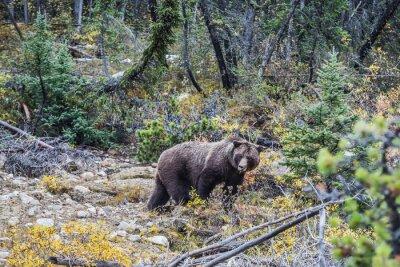 Fototapeta Wielki niedźwiedź brunatny szuka żołędzi