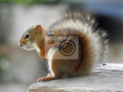 Wiewiórka Kanadyjska Fototapeta Fototapety Chipmunk Wiewiórka Stwór Myloview Pl