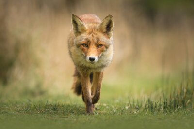 Fototapeta Wild red fox