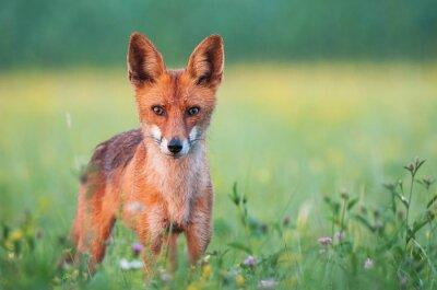 Fototapeta Wild red fox patrząc na kamery
