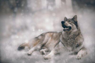 Fototapeta Wilk / Ładny wilk na tle śniegu.