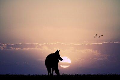 Fototapeta Wilk o zachodzie słońca