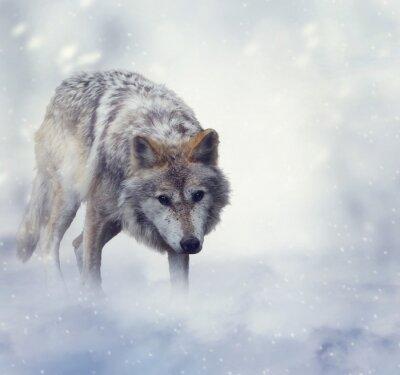 Fototapeta Wilk w zimowy czas