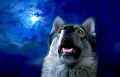 Fototapeta Wilk / Wilk w nocy, wybierz skupić się na oczy. Cyfrowy retusz.