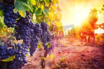 Fototapeta winnic z dojrzałych winogron w wsi o zachodzie słońca
