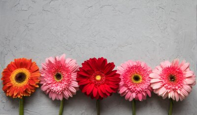 Fototapeta Wiosenne kwiaty Gerbera na stole tekstury betonu cementowego. 08 marca koncepcji. wzornictwo