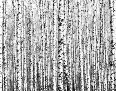 Fototapeta Wiosenne pni drzew brzozy czerni i bieli