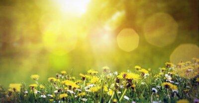 Fototapeta Wiosną łąki z dandelions i pszczoła w słońcu