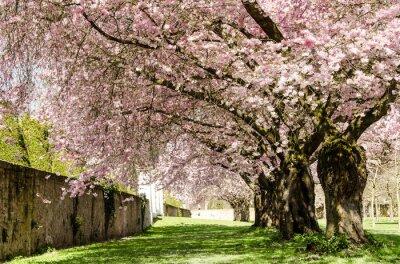 Fototapeta Wiosna Sen: kwiaty wiśnia japońska :)