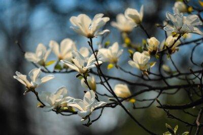 Fototapeta Wiosna w kwiatach, magnolii