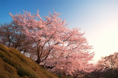 Fototapeta Wiśni Na Kiyomizu-dera, Kyoto, Japonia