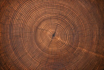 Fototapeta wood texture of old stump. natural background of cut trunk with annual rings