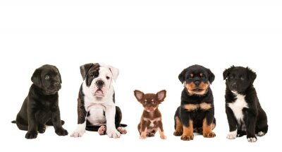 Fototapeta Wszelkiego rodzaju słodkie innej rasy puppy psy na białym tle, jak Chihuahua, rottweiler, Border Collie, labrador oraz bulldog angielski
